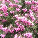 heather,evergreen shrub,flowering winter plant
