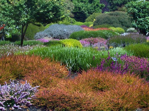 In The Cool, Dark Days Of Late Fall And Early Winter, The Garden Can Tend  Toward The Drab. Fall And Winter Flowering Heather, Calluna Vulgaris, ...
