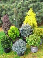 dwarf conifers, winter interest, conifers, evergreen specimen trees