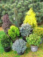 dwarf conifers, winter interest, conifers, evergreen specimen trees