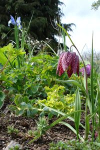 Bulbs-Fritillaria meleagris-checkered lily by Brenna Wiegand (1)