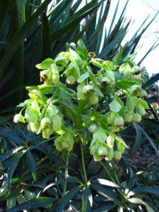 helleborus foetidus, stinking hellebore