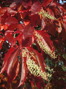 Oxydendron arboreum - Sourwood