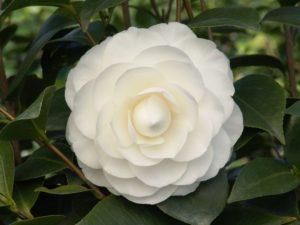 carefree camellias