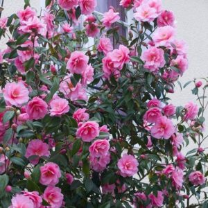 Carefree camellias bark and garden center camellias mightylinksfo