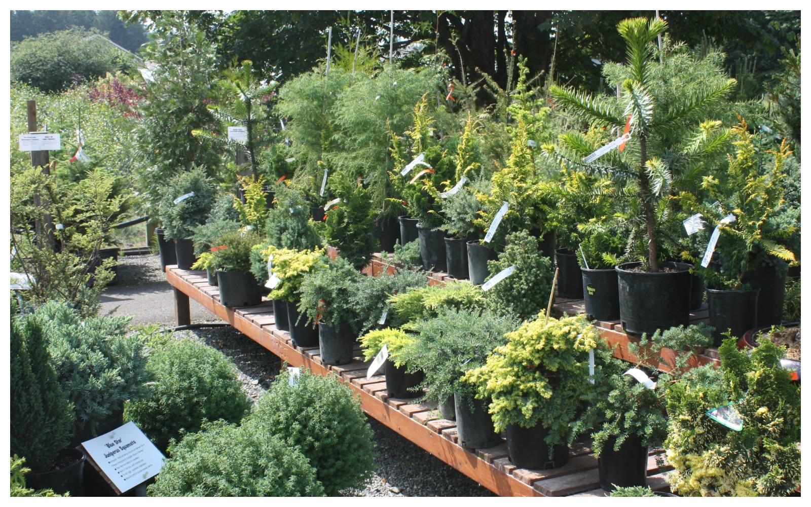 Dwarf conifer shrubs hassle free beauty bark and garden for Dwarf trees for small gardens