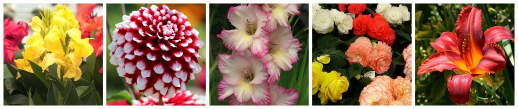 Summer bulb collage - canna dahlia gladiolus begonia lily